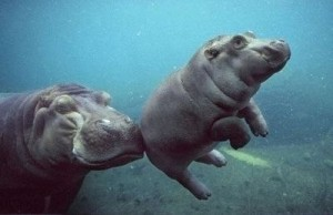Бегемотиха с малышом под водой