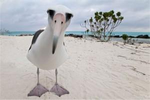 Альбатрос смотрит в объектив фотоаппарата
