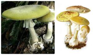 коллаж поганки, ядовитые грибы