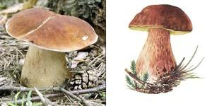 картинка боровика, белого гриба фото