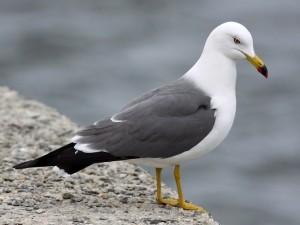 Чайка, морская птица