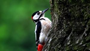 Дятел на дереве, лесная птица
