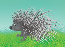 дикообраз