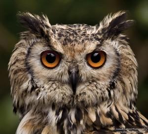 Филин с большими глазами