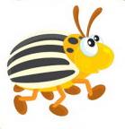 жук колорадский рисунок