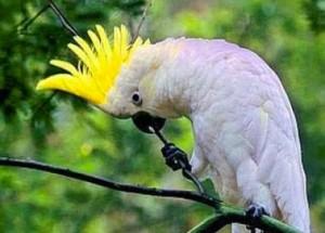 Фото какаду, белого попугая
