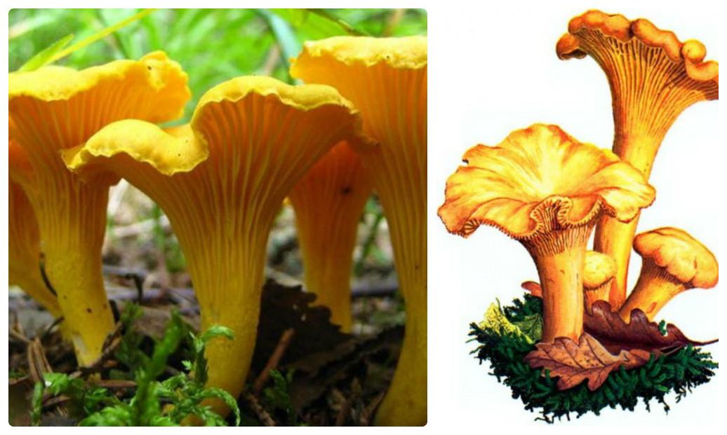 Фотографии съедобных грибов в ростовской области приехать несколько