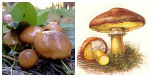 Маслята грибы фото