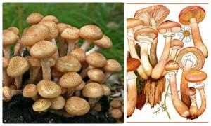 пень, грибы, опята, грибник, лес