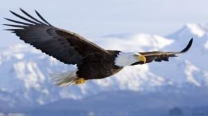 Орёл летит фото