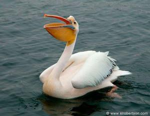 Птица пеликан на воде