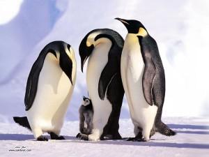 Пингвины с детёнышами на льдинах