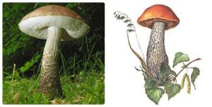 гриб, подберезовик, лес, грибница