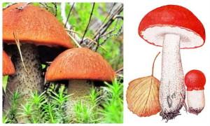 гриб с красной шляпкой, лес, подосиновик, фото, рисунок