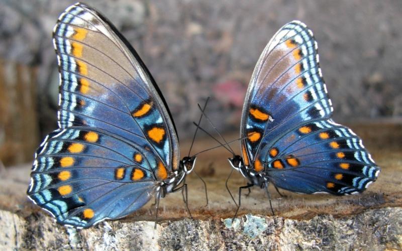 Сапгир Бабочка