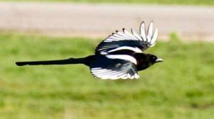Летящая сорока фото