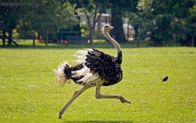 Бегущий страус фото