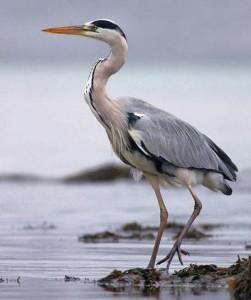 Цапля болотная птица
