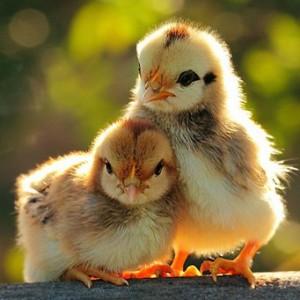 Фото цыплят