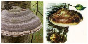 гриб-поразит, растет на деревьях, трутовик