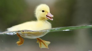 Утёнок плывет по воде