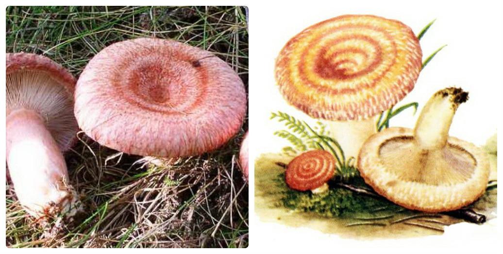 Картинки грибов для детей волнушка