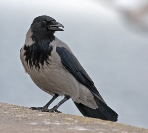 Ворона фото птицы